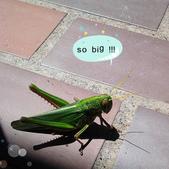 張三的歌:巨大蝗蟲