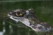 張三的歌:crocodile