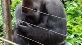 生活筆記:逆增上緣的猩猩 Bobo 與嬰猴-06.jpg