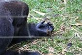 生活筆記:逆增上緣的猩猩 Bobo 與嬰猴-03.jpg