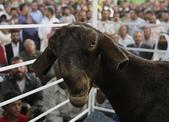 生活筆記:大馬士革山羊-12.jpg