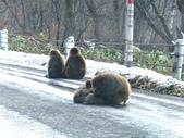 生活筆記:日本地獄谷野猿公苑-12.jpg
