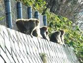 生活筆記:日本地獄谷野猿公苑-13.jpg