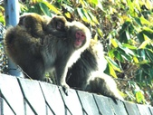 生活筆記:日本地獄谷野猿公苑-14.jpg