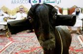 生活筆記:大馬士革山羊.jpg