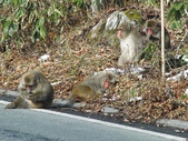 生活筆記:日本地獄谷野猿公苑-16.jpg