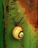 自然科學:古巴彩色蝸牛-08.jpg