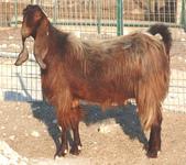 生活筆記:大馬士革山羊-08.jpg