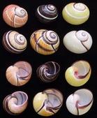 自然科學:古巴彩色蝸牛-13.jpg