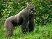 生活筆記:逆增上緣的猩猩 Bobo 與嬰猴.jpg