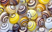 自然科學:古巴彩色蝸牛-18.jpg