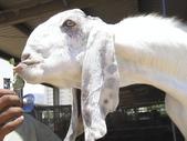 生活筆記:大馬士革山羊-10.jpg
