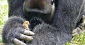 生活筆記:逆增上緣的猩猩 Bobo 與嬰猴-16.jpg