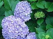 花花世界:繡球3.jpg