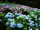 花花世界:繡球1.jpg