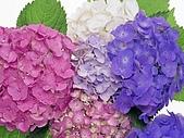 花花世界:繡球2.jpg