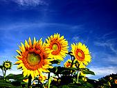 花花世界:葵1.jpg