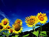 花花世界:葵2.jpg