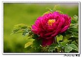 花花世界:牡丹2.jpg