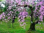 花花世界:櫻1.jpg