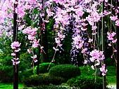 花花世界:櫻2.jpg