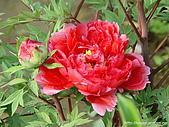 花花世界:牡丹7.jpg