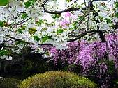 花花世界:櫻5.jpg