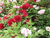 花花世界:牡丹3.jpg