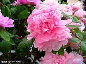 花花世界:牡丹4.jpg