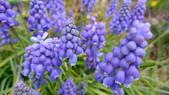 美麗的小花:葡萄風信子