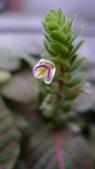 美麗的小花:紅網紋