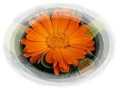 繁花千萬種:勳章菊