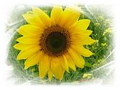 繁花千萬種:向日葵