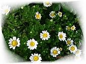 繁花千萬種:小白菊