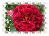 繁花千萬種:玫瑰花