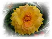 繁花千萬種:玫瑰花-金色陽花