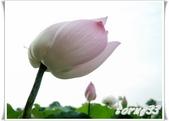 白河賞蓮:DSCN0905-1.JPG