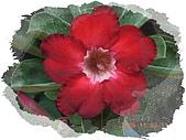 繁花千萬種:沙漠玫瑰