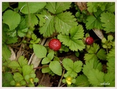 2014 油桐花:難得一見的蛇莓