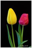 花卉來迎春:DSC_1177.jpg