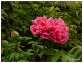 杉林溪牡丹園:_1110206.jpg