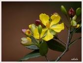 2014 油桐花:桂葉紅梅