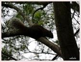 2014 油桐花:松鼠在林間跳躍