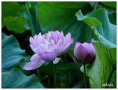 2016植物園荷花季:_1110389.JPG