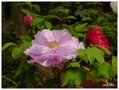 杉林溪牡丹園:_1110201.jpg