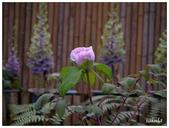 杉林溪牡丹園:_1110222.jpg