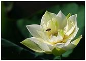 新屋白蓮花:DSC_8336.jpg
