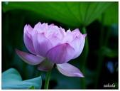 2016植物園荷花季:_1110379.JPG