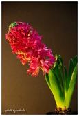 花卉來迎春:DSC_1223.jpg