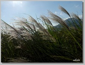 2012擎天崗芒花:b 067.jpg